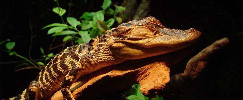 Alligator inhaled helium for science